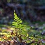 Farnkraut im Wald bei Wintersonne